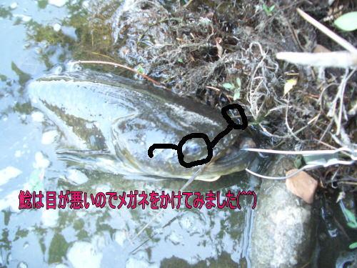 2013/06/08  土岐川鯰&虹鱒